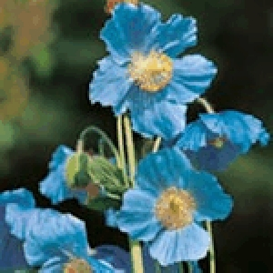 Himalayan Poppy (Meconopsis)