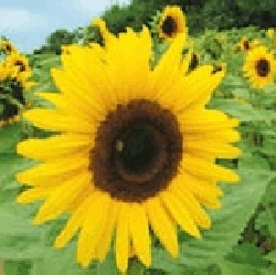 Sunflower Giant Yellow